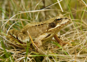 The common frog, not very rare at all