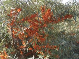 Buckthorn, simply delicious