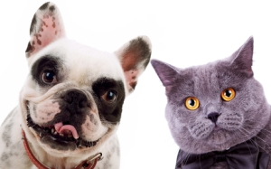 British short hair grey cat  and french bull dog puppy dog