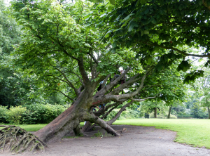 tree in vondel park
