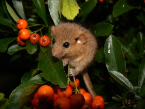 hazel doormouse